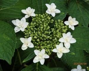 初夏の花 紫陽花 2