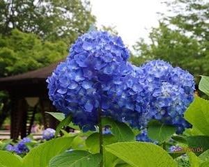 初夏の花 紫陽花 3