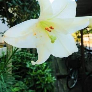 夏の花たち、テッポウユリ(鉄砲百合)