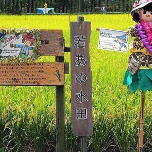 上大島キャンプ場に隣接する若あゆ水田