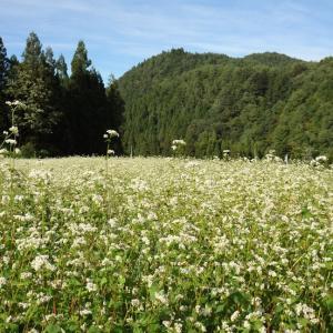 『高原の蕎麦畑』