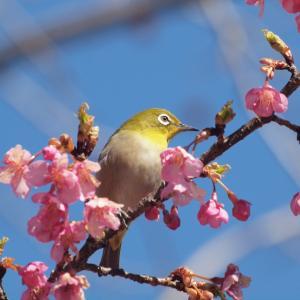 『再び河津桜とメジロを・・・・・』