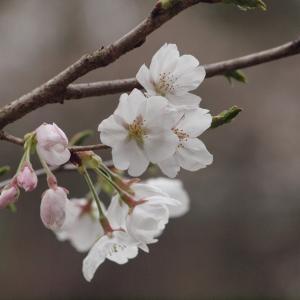 『各務野櫻苑(1)  9種類の桜達』