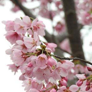 『各務野櫻苑(2) 9種類の桜達』