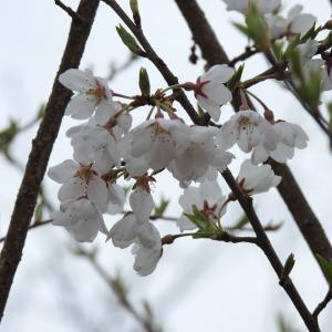 『各務野櫻苑(3) 9種類の桜達』