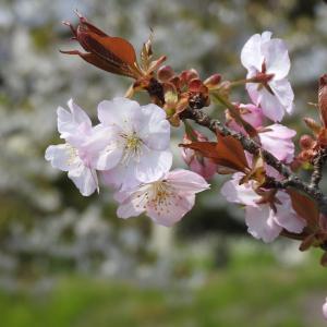 『各務野櫻苑(5) 9種類の桜達』