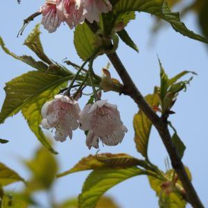 『各務野櫻苑(6) 9種類の桜達』