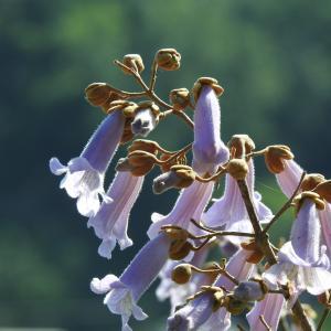 『武儀川沿いに咲く桐(キリ)の花など・・・・・』