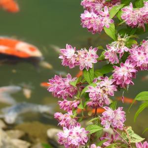 『桜空木(サクラウツギ)や夏蝋梅(ナツロウバイ)等の花達~』