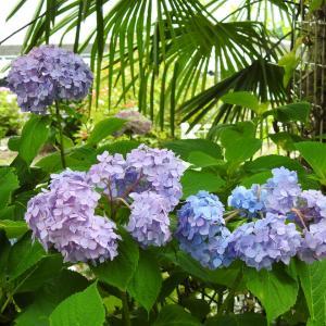 『弓削禅寺(ゆげぜんじ)の紫陽花風景』