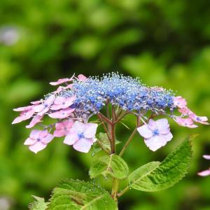 『弓削禅寺の紫陽花達』