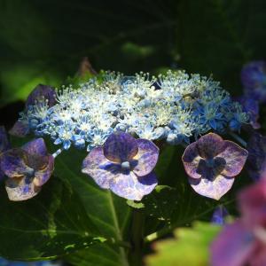 『佐原紫陽花園の紫陽花達・・・・・♪』