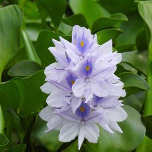 『布袋葵(ホテイアオイ)咲く名も無い池・・・・・』