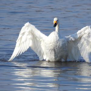 『今年も飛来した木曽川の小白鳥(コハクチョウ)達』