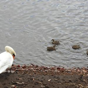 『瘤白鳥(コブハクチョウ)と青鷺(アオサギ)と川鵜(カワウ)』