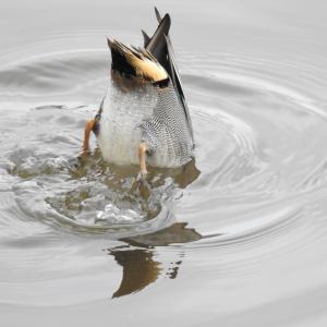 『小鴨(コガモ)達もこの池の常連さんです~♪』