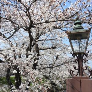 『日本さくら名所100選・新境川堤の百十郎桜』