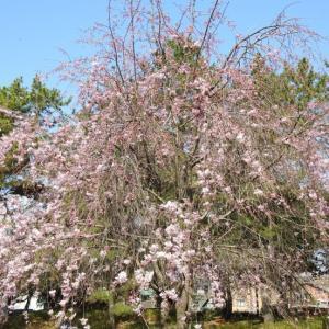 『各務原市民公園の桜と鳥~』