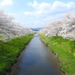 『鳥羽川サイクリングロードの桜並木』