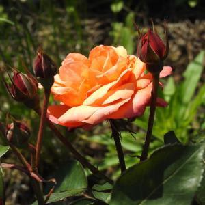 『大野町バラ公園のバラ達~2』