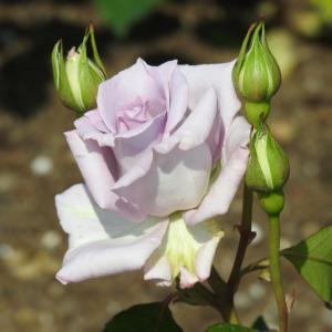 『神戸町ばら公園いこいの広場のバラ達~2』
