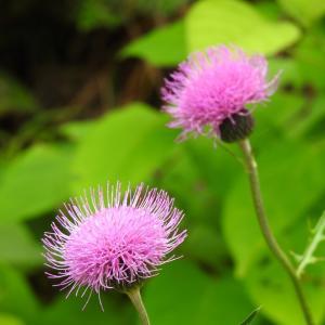 『長良川ふれあいの森の赤小灰蝶(アカシジミ)と花達~』