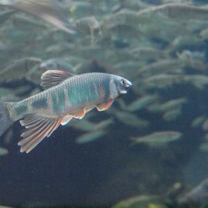 『日本で見られる淡水魚達(アクア・トトぎふ)』