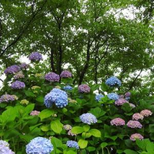 『犀川あじさいロードの紫陽花達』