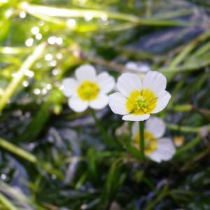 『梅花藻(バイカモ)咲く地蔵川の流れ』
