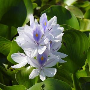 『布袋葵(ホテイアオイ)や沼虎の尾(ヌマトラノオ)の花達~』