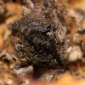 アンコの菌床化