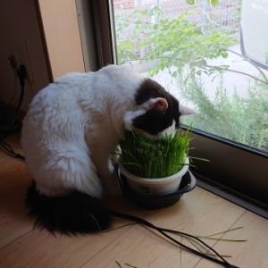 猫草ラブなよれ子。