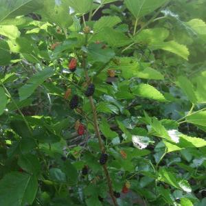 桑の実を摘んで食べてみました。