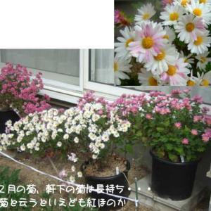 コロナと菊と林檎