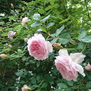 薔薇の季節、のんびりスタート
