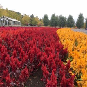 富良野ラベンダーはスッカラカン!秋を彩るズリ山紅葉とケイトウ南瓜!