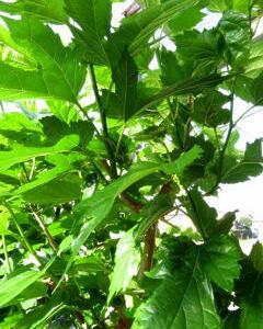 ジャマになった桑の木の枝落とし作業!腕がつかれる