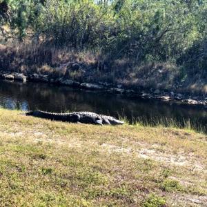 フロリダ南端、やっぱりいたのねアリゲーター…とジゼルの午後