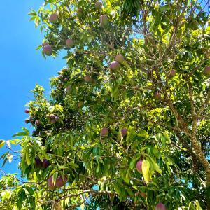 フロリダ南端、マンゴーの巨木の下でわらしべ長者になるの巻き