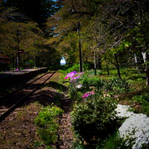 閉鎖公園解除で桜散策