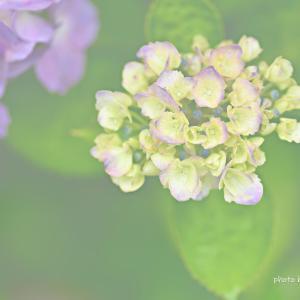 『紫陽花まつり』 開催告知 です