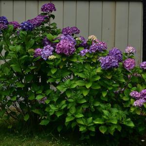 紫陽花倶楽部2020紫陽花まつり『梅雨空に似合う紫陽花 』