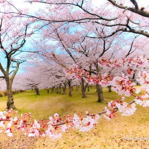 公園で桜散策1