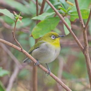 庭の小鳥(メジロ)葉山