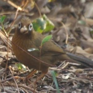 庭のガビチョウ(画眉鳥)