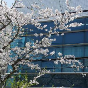 葉山町役場(花の木公園)の桜
