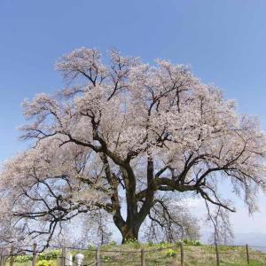 わに塚の桜(塚の上にそびえる樹齢330年の1本さくら)