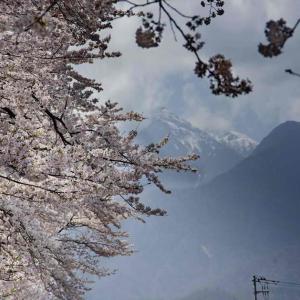 眞原桜並木(さねはらさくらなみき)750メートルの桜のトンネル