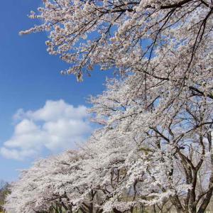 蕪(かぶら)の桜並木とシバザクラ