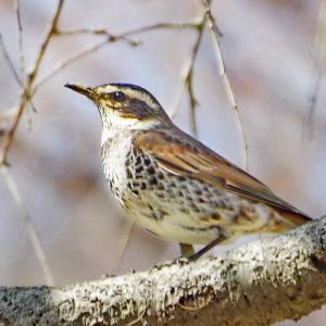 近所の小鳥たち(ツグミ)日本では越冬のために飛来します